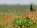 Halsbandfrankolin, Black Francolin, Black Partridge, Francolinus francolinus, Francolin noir, Francolín Ventrinegro