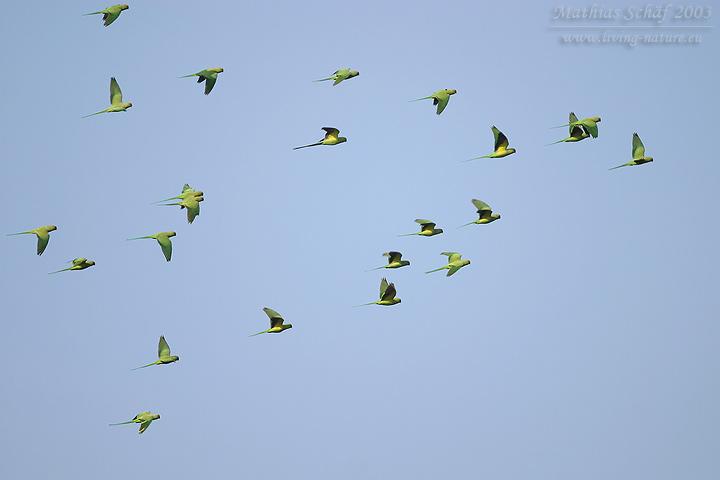 Halsbandsittich / Rose-ringed Parakeet / Psittacula krameri | Living ...
