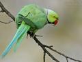 Halsbandsittich, Rose-ringed Parakeet, Psittacula krameri