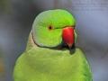 Halsbandsittich, RaHalsbandsittich, Rose-ringed Parakeet, Psittacula krameriose-ringed Parakeet, Ring-necked Parakeet, Psittacula krameri