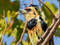 Haubenbartvogel, Levaillant's Barbet, Crested Barbet, Trachyphonus vaillantii