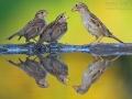 Haussperling, Spatz, House Sparrow, Passer domesticus, Moineau domestique, Gorrión Común