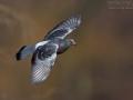 Haustaube, Straßentaube, Domestic Pigeon, Columba livia f. domestica