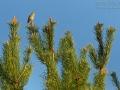 Heidelerche, Wood Lark, Woodlark, Lullula arborea, Alouette lulu, Totovía