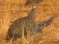 Helmperlhuhn, Helmeted Guineafowl, Numida meleagris