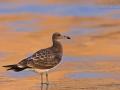 Hemprichmöwe, Sooty Gull, Larus hemprichii, Goéland de Hemprich, Gaviota Cejiblanca