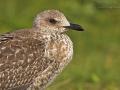 Heringsmöwe, Lesser Black-backed Gull, Larus fuscus, Goéland brun, Gaviota Sombría