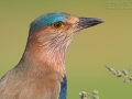 Hinduracke, Indian Roller, Coracias benghalensis, Rollier indien, Carraca India