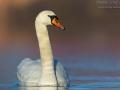 Höckerschwan, Mute Swan, Cygnus olor