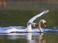 Höckerschwan, Mute Swan, Cygnus olor, Cygne tuberculé, Cisne Vulgar