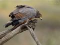 Höhlenweihe, African Harrier Hawk, African Harrier-Hawk, Polyboroides typus