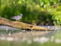 Hohltaube, Stock Dove, Columba oenas