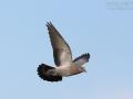 Hohltaube, Stock Dove, Stock Pigeon, Columba oenas, Pigeon colombin, Paloma Zurita