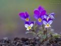 V wie Viola tricolor