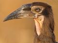 Kaffernhornrabe, Southern Ground Hornbill, Southern Ground-Hornbill, Bucorvus cafer, Bucorvus leadbeateri
