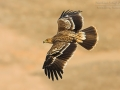 Kaiseradler, Eastern Imperial Eagle, Imperial Eagle, Aquila heliaca, Aigle impérial, Águila Imperial Oriental