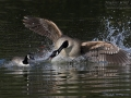 Kanadagans, Canada Goose, Branta canadensis