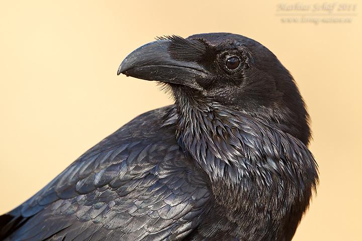 Kanarischer Kolkrabe Canary Islands Raven Corvus Corax