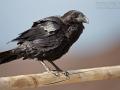 Kolkrabe, Kanarischer Kolkrabe, Canary Islands Raven, Raven, Corvus corax tingitanus, Grand Corbeau, Cuervo Común, Cuervo