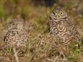 Kaninchenkauz, Burrowing Owl, Athene cunicularia, Speotyto cunicularia