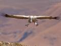 Kapgeier, Cape Vulture, Cape Griffon, Gyps coprotheres