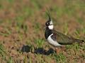 Kiebitz, Northern Lapwing, Vanellus vanellus