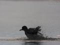 Kiebitzregenpfeifer, Grey Plover, Black-bellied Plover, Pluvialis squatarola, Pluvier argenté, Chorlito Gris
