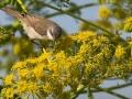 Klappergrasmücke, Lesser Whitethroat, Sylvia curruca
