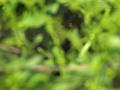 Kleines Sumpfhuhn, Kleinralle, Little Crake, Porzana parva, Marouette poussin, Polluela Bastarda