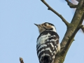 Kleinspecht, Lesser Spotted Woodpecker, Dendrocopos minor, Picoides minor, Pic épeichette, Pico Menor