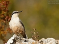 Klippenkleiber, Eastern Rock Nuthatch, Great Rock Nuthatch, Eastern Rock-Nuthatch, Sitta tephronota, Sittelle des rochers, Trepador Armenio