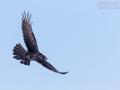 Kolkrabe, Northern Raven, Corvus corax