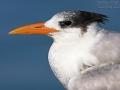 Königsseeschwalbe, Royal Tern, Sterna maxima, Thalasseus maximus, Sterne royale, Charrán Real