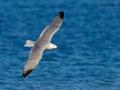 Korallenmöwe, Audouin's Gull, Larus audouinii, Goéland d'Audouin, Gaviota de Audouin