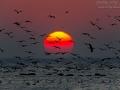 Kormoran, Great Cormorant, Phalacrocorax carbo