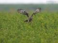 Kornweihe, Hen Harrier, Circus cyaneus
