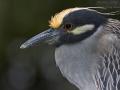 Krabbenreiher, Yellow-crowned Night Heron,  Yellow-crowned Night-Heron, Nycticorax violaceus, Nyctanassa violacea