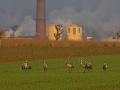Kranich, Common Crane, Crane, Grus grus, Grue cendrée, Grulla Común