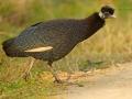 Kräuselhauben-Perlhuhn, Crested Guineafowl, Guttera pucherani, Guttera edouardi