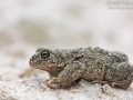 Kreuzkröte / Natterjack Toad / Bufo calamita
