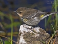 Kronwaldsänger, Yellow-rumped Warbler, Dendroica coronata, Paruline à croupion jaune, Reinita Coronada, Picafollas Coronado