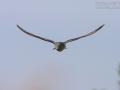 Kuckuck, Eurasian Cuckoo, Cuckoo, Common Cuckoo, Cuculus canorus, Coucou gris, Cuco Europeo, Cuco Común