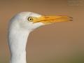 Kuhreiher, Cattle Egret, Bubulcus ibis, Héron garde-bœufs, Garcilla Bueyera