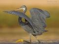 Küstenreiher, Western Reef Heron, Western Reef-Heron, Western Reef-Egret, Egretta gularis, Aigrette des récifs, Garceta Dimorfa