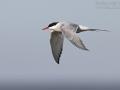 Küstenseeschwalbe, Arctic Tern, Sterna paradisaea, Sterne arctique, Charrán Ártico