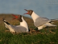 Lachmöwe, Black-headed Gull, Common Black-headed Gull, Larus ridibundus, Mouette rieuse,  Gaviota Reidora