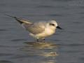 Lachseeschwalbe, Gull-billed Tern, Gelochelidon nilotica, Sterna nilotica, Sterne hansel, Pagaza Piconegra