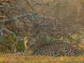 leopard_mk4_50958