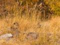 leopard_mk4_95134