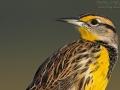 Lerchenstärling, Eastern Meadowlark, Sturnella magna, Sturnelle de prés